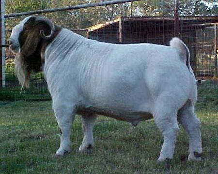 Boer Goats For Sale In PA - Pedigree For Lethal Inje - photo#21