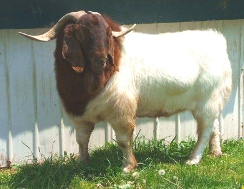 Boer & Pygmy Goats For Sale In PA - PEDIGREE FOR CARTEL