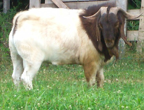 BMW 2002 For Sale >> Boer & Pygmy Goats For Sale In PA - PEDIGREE FOR CARTEL